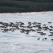 Barren ground caribou of the Porcupine herd, Arctic National Wildlife Refuge, Alaska.