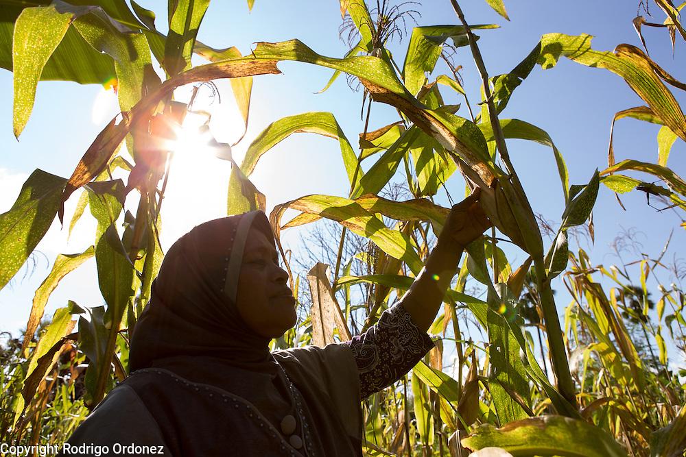 Siti Rofi'ah, 45, inspects the maize plants in her demonstration plot in Merdeka, Lebatukan subdistrict, Lembata district, East Nusa Tenggara province, Indonesia.