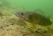 Walleye<br /> <br /> Engbretson Underwater Photography