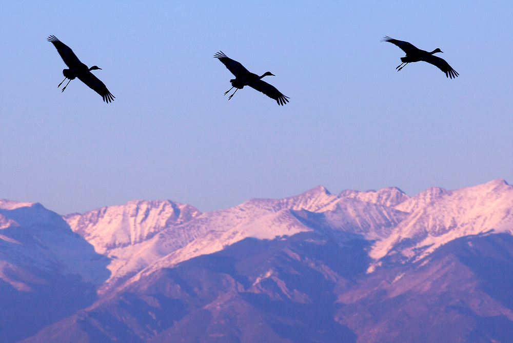 A trio of sandhill cranes coming in for a landing.