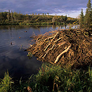 Beaver, (Castor canadensis) Beaver house at edge of pond in Riding Mountain National Park. Manitoba. Canada.