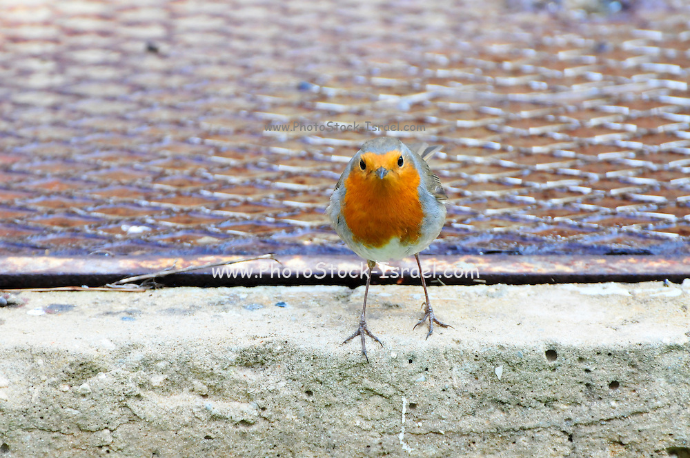 European robin (Erithacus rubecula) on the ground. The robin is found throughout Eurasia - east to Western Siberia, south to Algeria and on the Atlantic islands as far west as the Azores and Madeira. Photographed in Israel, in November.