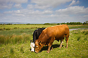 Brown Herefordshire bull and fresian cow in meadow in Gloucestershire