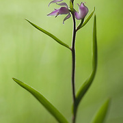 Red Helleborine, Cephalanthera rubra, orhcid with three flowers in bloom.