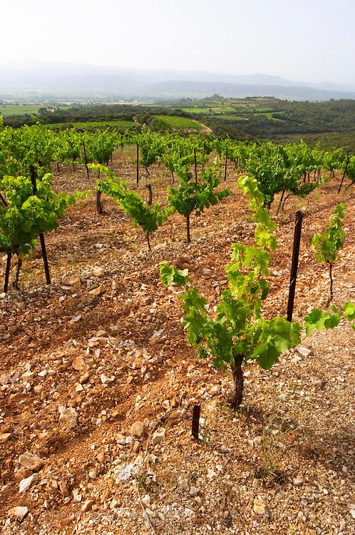 Domaine du Mas de Daumas Gassac. in Aniane. Languedoc. Muscat grape vine variety. La Cerane plot. Terroir soil. France. Europe. Vineyard. Soil with stones rocks.