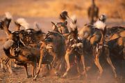 African wild dogs {Lycaon pictus} pack on Impala kill, Okavango Delta, Botswana