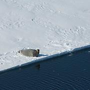 A Bearded Seal (Erignathus barbatus) on the ice pack of the Beaufort sea. Kaktovik, Alaska.