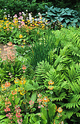 Candelabra primulas with Onoclea sensibilis and hosta in a damp area of the woodland garden