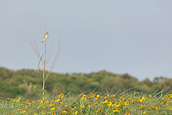Backlit Rattlesnake master on the Daphne Prairie, a remnant of the Blackland Prairie, Mount Vernon, Texas, USA.