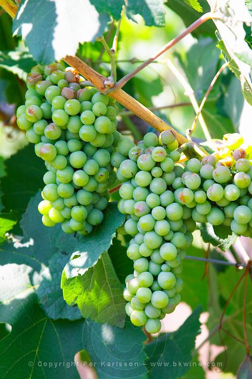 Grape bunch of the local grape variety Shesh. damaged by hail. Cobo winery, Poshnje, Berat. Albania, Balkan, Europe.