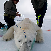 Dr Steven Amstrup and Susie Miller  collect data from a recently immobilized polar bear on the Beaufort Sea, Alaska. Steven