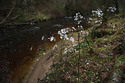 Several perennial honesty (Lunaria rediviva) plants in winter next to river Līgatne, Vidzeme, Latvia Ⓒ Davis Ulands | davisulands.com