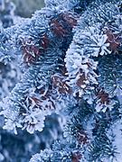Hoarfrost and rime covering Douglas fir, Pseudotsuga menziesii, along the Salmon River, Sunbeam Hot Springs, Salmon-Challis National Forest, Idaho.