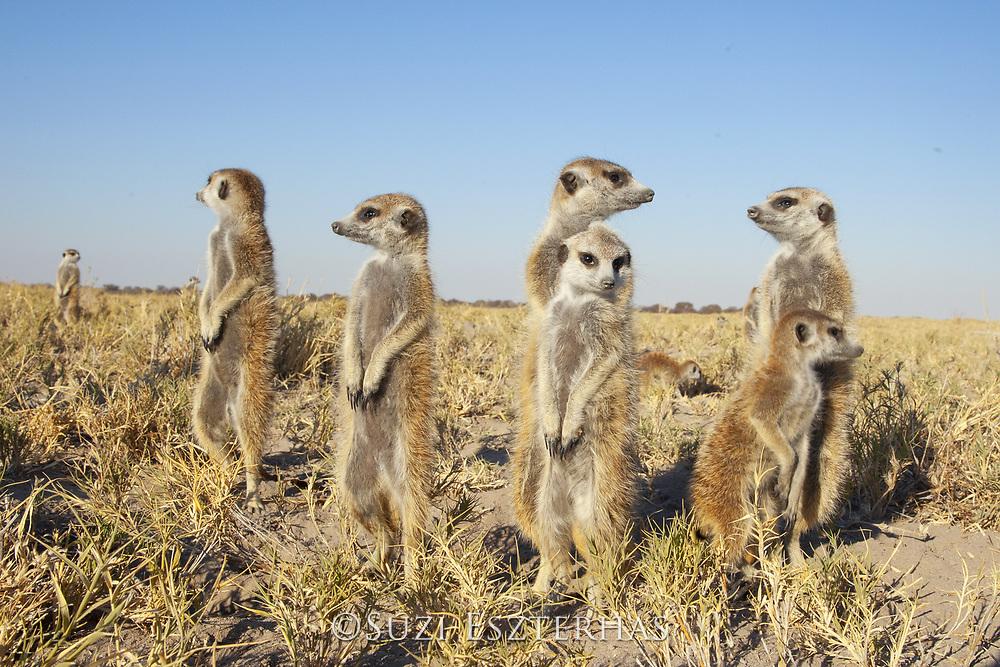 Meerkat<br /> Suricata suricatta<br /> Makgadikgadi Pans, Botswana