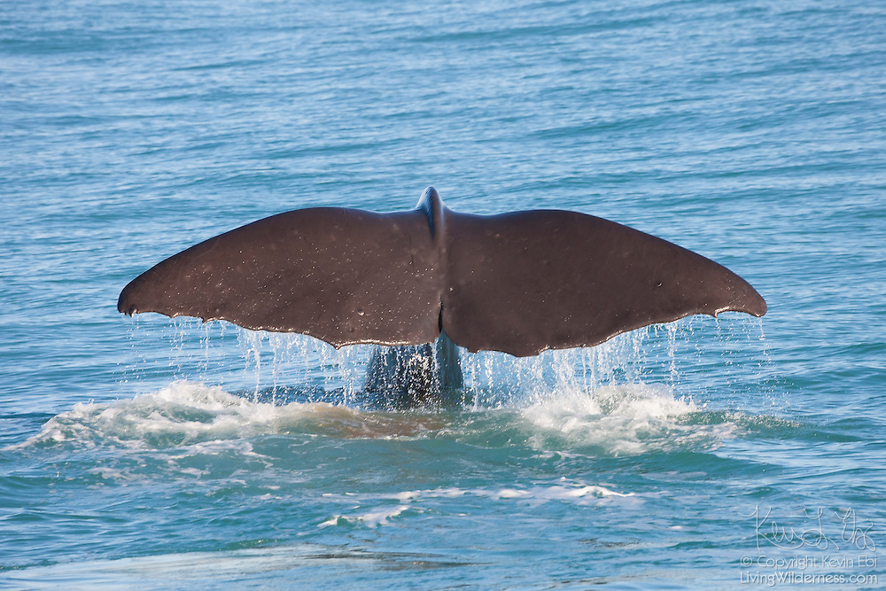 A sperm whale (Physeter macrocephalus) dives off the New Zealand coast near Kaikoura. The sperm whale, also known as cachalot, is the largest of the toothed whales. Males average 52 feet (16 meters) in length, but can grow to be 67 feet (20.5 meters) long. The sperm whale gets its name from the liquid wax, called spermaceti, which is found in its head. Spermaceti is used for echolocation and communication and may help adjust the whale's buoyancy.