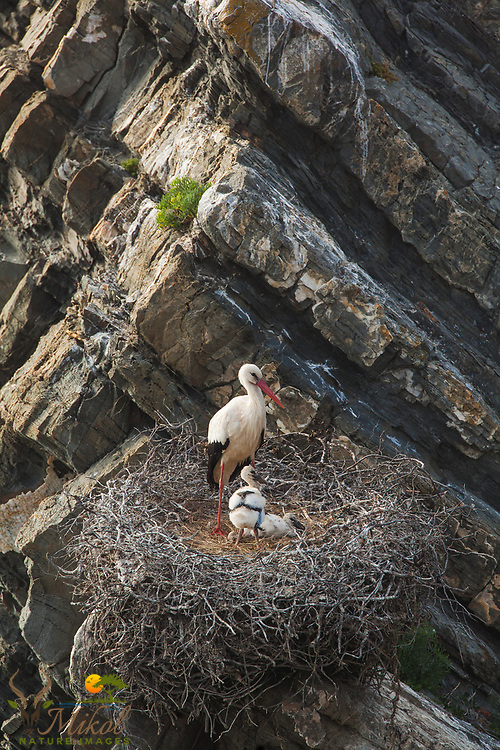 White Storks with young in nest