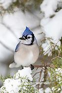 01288-05820 Blue Jay (Cyanocitta cristata) in Juniper Tree in winter Marion Co. IL
