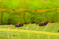 The feet of a large caterpillar on the backside of a green leaf.