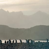 A flock of King Penguins stands on a rocky beach near their rookery at Salisbury Plain, South Georgia, Antarctica.