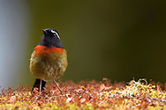 Taiwan Collared Bush Robin, Tarsiger johnstoniae. Endemic. Alishan, Taiwan
