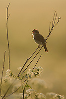 Marsh warbler (Acrocephalus palustris) male singing at dawn. Lithuania. Mission: Lithuania, June 2009.