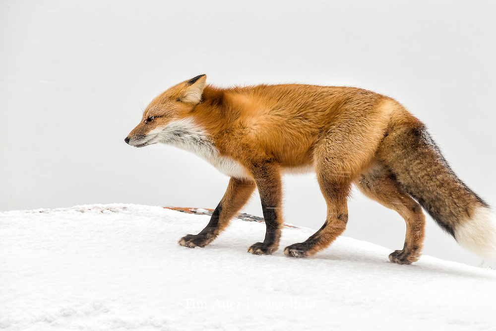 Day 2 of the 7 day Photo Challenge<br /> Arctic Blast<br /> Churchill, Manitoba, Canada<br /> A red fox braces against the wind during a Manitoba blizzard. The high winds kicked up a lot of snow and decreased the visibility. To make this photo, I stopped down the lens to increase the depth of field, in case an errant snowflake threw the autofocus off and waited for a lull in the gusts for a clear shot. The intensity of the winds can be observed by the horizontal streaks cutting across the frame. The fox's bushy tail behaved more like a sail, and would catch the wind, altering its trajectory, making it move kind of sideways across the tundra. Note the beautiful lichens growing on the exposed part of the rock. <br /> Canon EOS 1DX, Canon EF 600mm f/4 L IS II USM, handheld<br /> 1/200s; f/10; 600mm; ISO1600<br /> Post Processing done using Lightroom 5.7.1