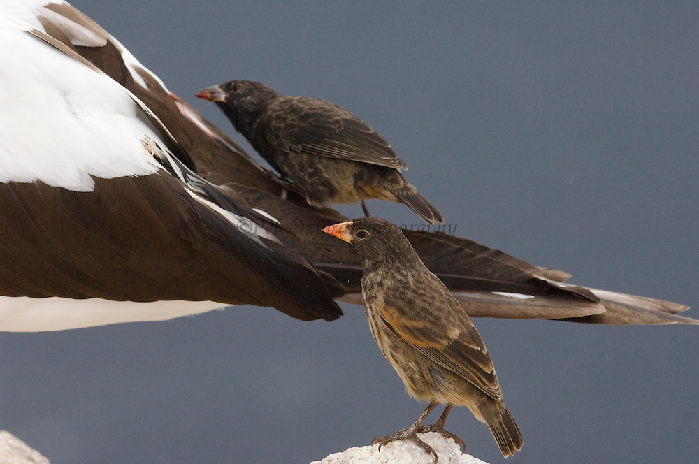 Sharp-beaked Ground-Finch (Geospiza difficilis) pair feeding on blood from Nazca Booby (Sula granti), Galapagos Islands, Ecuador