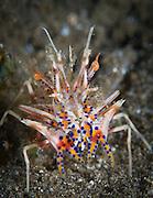 The rare Tiger Shrimp (Phyllognathia ceratophtalmus) on volcanic sand, Volcano Crater, Witu Islands, Kimbe Bay