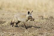 Bat-eared fox<br /> Otocyon megalotis<br /> Parent moving 16 day old pup<br /> Masai Mara Reserve, Kenya