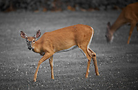 Deer in New Jersey. Image taken with a Nikon D3x and 500 mm f/4 lens (ISO 400, 500 mm, f/4, 1/250 sec). Image processed with Capture One 6 Pro.
