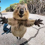 "Man Meets Quokka, Quokka Won't Leave Him Alone<br /> <br /> 21-year-old Campbell Jones and his girlfriend were out for a bike ride in Rottnest, Australia, when they came across what is possibly the friendliest quokka on Earth. ""As I walked back to my bike, the quokka chased after me,"" said Jones . ""I put down the GoPro and it jumped at me as if to say, 'Come back.'""<br /> <br /> When asked  what Jones thinks made the animal come up to him, Campbell wrote: ""My good looks I think."" Quokka saw the man, and it was love at first sight!<br /> <br /> Quokka is a marsupial found in Australia. They are known for their inquisitive nature – quokkas have only few natural predators, which allows them to be less fearful around other creatures, and, as it turns out, even approach humans for a selfie or a hug. Still, the species is listed as 'vulnerable'.<br /> ©Rottnest Fast Ferries/Exclusivepix Media"