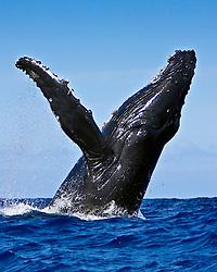 humpback whale, Megaptera novaeangliae, breaching, Hawaii, Pacific Ocean