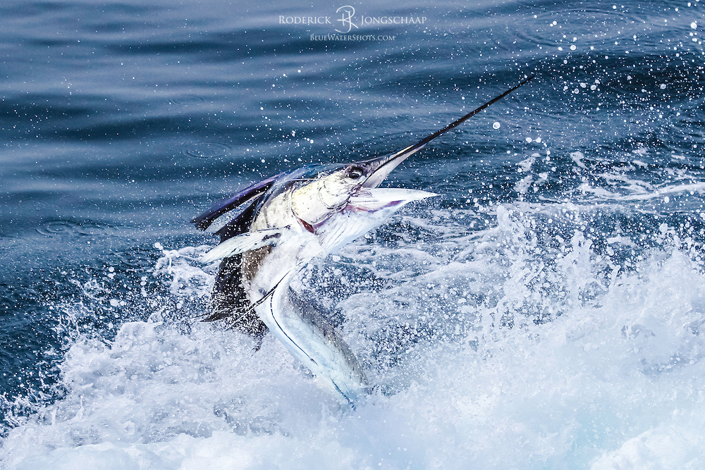 Atlantic Sailfish jumping in the prop wash right behind the transom of the 48' Viking, offshore Luanda, Angola