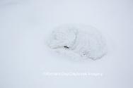 01863-01609 Arctic Fox (Alopex lagopus) curled up in winter Churchil Wildlife Management Area Churchill, MB