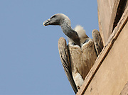An Indian Vulture (Gyps Indicus) perches on a ledge on the roof of the sandstone  Jahangir Mahal (Palace) Orchha, Madhya Pradesh, Republic of India 06 December 2008