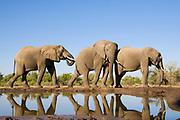 African Elephant<br /> Loxodonta africana<br /> At waterhole<br /> Mashatu Game Reserve, Botswana