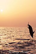 Atlantic spotted dolphin, jumping at sunset, Stenella frontalis, Bahamas ( North Atlantic Ocean )