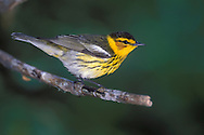 Cape May Warbler - Dendroica - Adult male