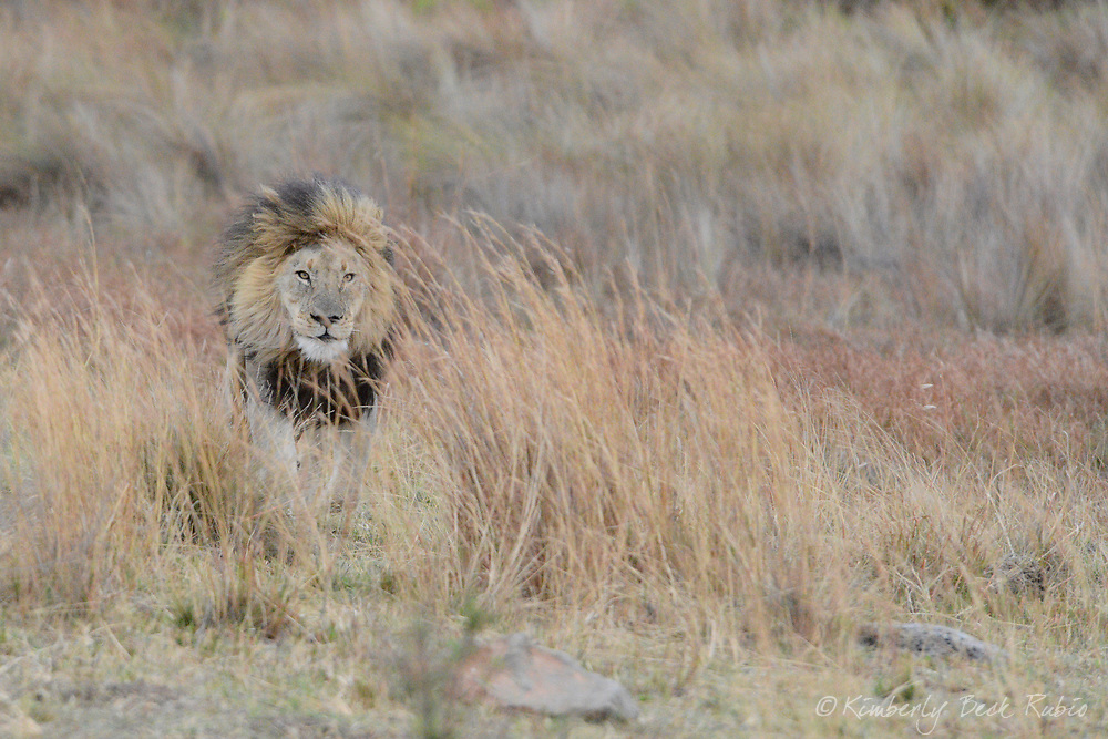 Large male lion stalking, camouflaged in the tall grass on an overcast day in the dry season. Welgevonden Game Reserve, Limpopo Province, South Africa.