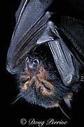 black flying fox, Pteropus alecto (c)<br /> sleeping while hanging upside-down from tree branch,<br /> Australia