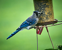 Blue Jay. Image taken with a Leica SL2 camera and Sigma 100-400 mm lens