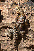 "Desert spiny lizard. We had lunch at South Canyon at River Mile 31.8, while rafting through Marble Canyon on day 2 of 16 days boating 226 miles down the Colorado River in Grand Canyon National Park, Arizona, USA. Marble Canyon runs from Lees Ferry at River Mile 0 to the confluence with the Little Colorado River at Mile 62, which marks the beginning of the Grand Canyon. Although John Wesley Powell knew that no marble was found here when he named Marble Canyon, he thought the polished limestone looked like marble. In his words, ""The limestone of the canyon is often polished, and makes a beautiful marble. Sometimes the rocks are of many colors – white, gray, pink, and purple, with saffron tints."""