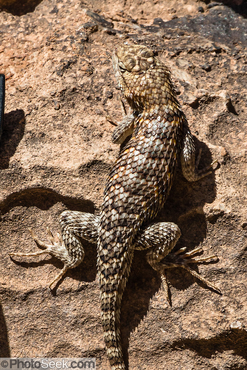 """Desert spiny lizard. We had lunch at South Canyon at River Mile 31.8, while rafting through Marble Canyon on day 2 of 16 days boating 226 miles down the Colorado River in Grand Canyon National Park, Arizona, USA. Marble Canyon runs from Lees Ferry at River Mile 0 to the confluence with the Little Colorado River at Mile 62, which marks the beginning of the Grand Canyon. Although John Wesley Powell knew that no marble was found here when he named Marble Canyon, he thought the polished limestone looked like marble. In his words, """"The limestone of the canyon is often polished, and makes a beautiful marble. Sometimes the rocks are of many colors – white, gray, pink, and purple, with saffron tints."""""""