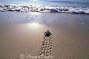 loggerhead sea turtle hatchling, Caretta caretta, crawls across beach toward ocean, Jupiter, Florida, USA ( Western Atlantic Ocean )