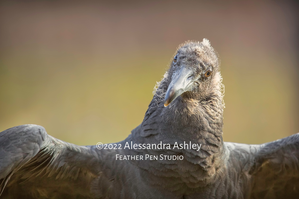Young black vulture shows off dapper dark gray plumage.
