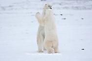 01874-11820 Polar Bears (Ursus maritimus) sparring / fighting in snow, Churchill Wildlife Management Area, Churchill, MB Canada