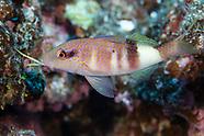 Parupeneus multifasciatus (Multibar Goatfish)
