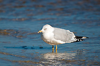A ring-billed gull wading along the water's edge near the mouth of the Ochlockonee River in North Florida.