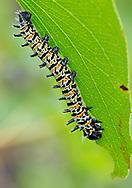 Mopane worm, Imbrassia belina, Mopane moth, Hwange National Park, Zimbabwe