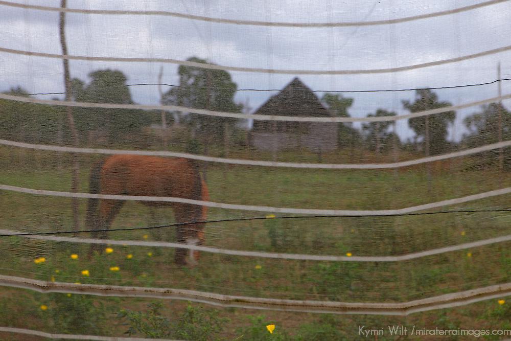 Cnetral America, Cuba, Pinar del Rio, San Luis. Horse on Finca Robaina plantation.